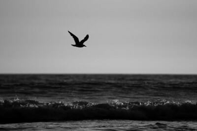 Gray Glider