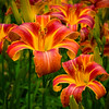 """Variegated Daylilies"""