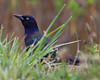 Common Grackle photographed on Block Island