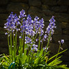 """""""Bluebells at the Rock Wall"""""""