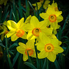 """Daffodil Family"""
