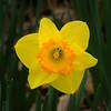 """""""Delicate Yellow Daffodil #2"""""""
