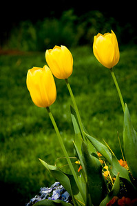 """Three Yellow Tulips"""