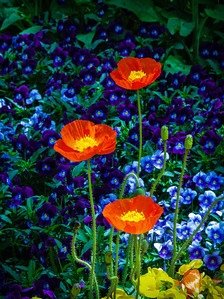 """Poppies Over Pansies"""