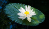 """Solo White Water Lilly"""