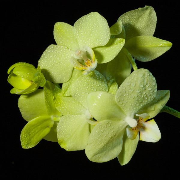 """Yellow Butterfly Orchid"""