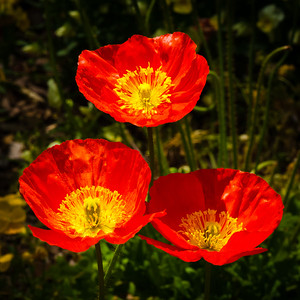 """Iceland Poppies"""