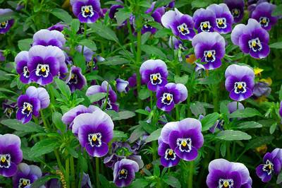 """""""Violet Pansies"""""""