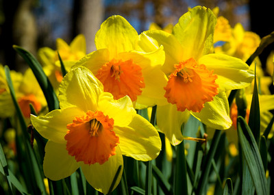 """Yellow Daffodils Three"""
