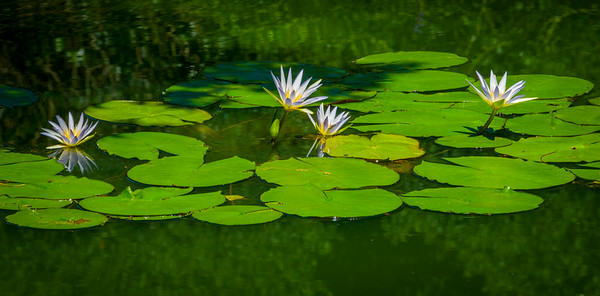 """Water Lilies Two by Four"""