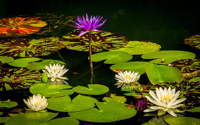 """Frog and Water Lilies"""