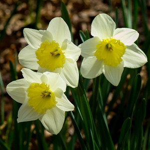 """White Daffodils Three"""