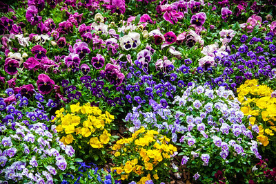 """Bed of Pansies"""