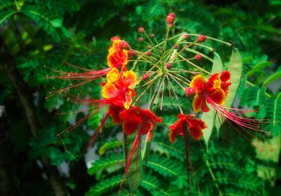 """""""Peacock Flower"""""""