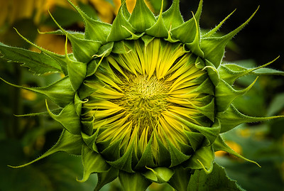 """Emerging Sunflower"""