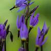 starflower, bokeh, purple, violet, flowers, wildflowers