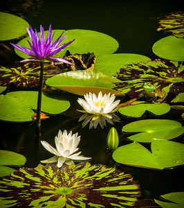 """Frog and Water Lilies #2"""