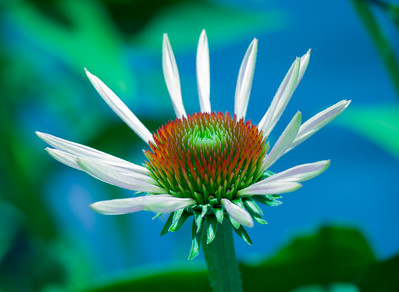 """White Coneflower"""