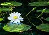 """Singular Lotus Blossom"""