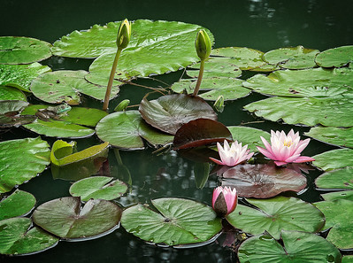 """Frog and Water Lilies #3"""