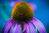 """Coneflower Close-up"""