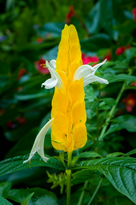 """Golden Shrimp Plant"""