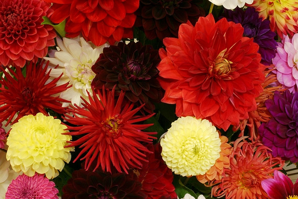 Dahlia Mix (arrangement)