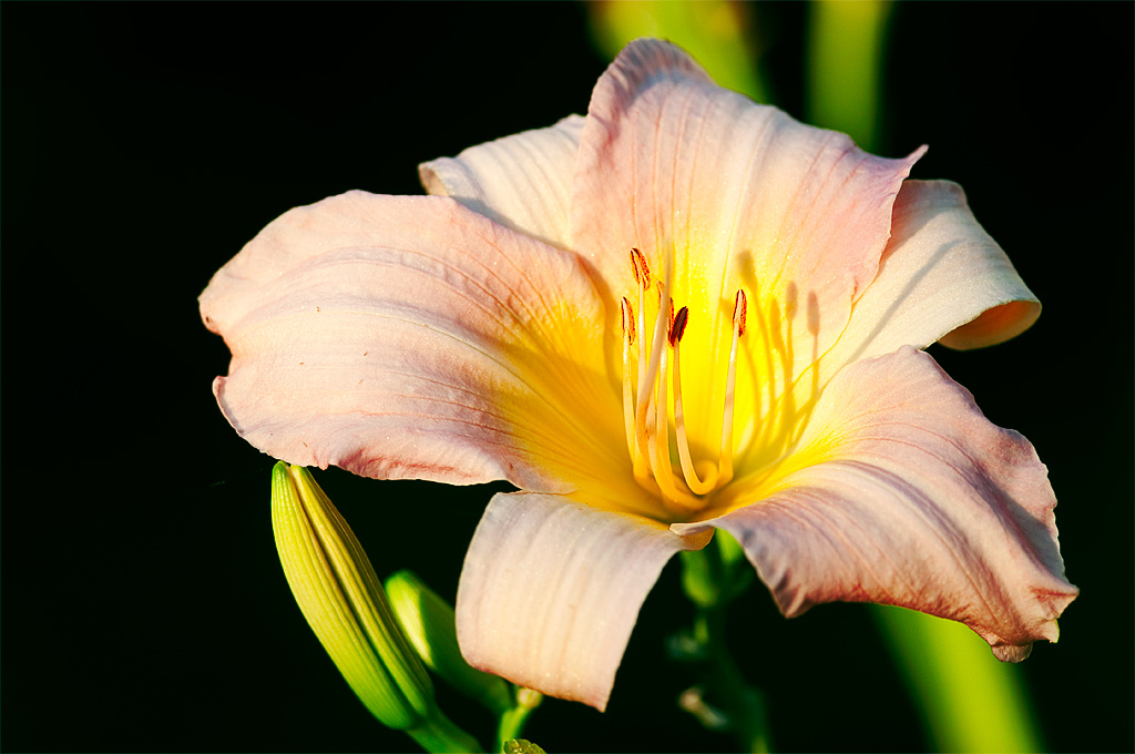 Lily in sunlight