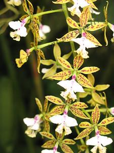 North America, USA, Florida, Sarasota, Selby Gardens, Orchid
