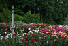 The Portland Rose Garden, Oregon