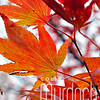 Autumn Leaves III