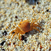 Crab in Bermuda III