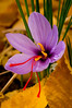 Autumn Crocus #4