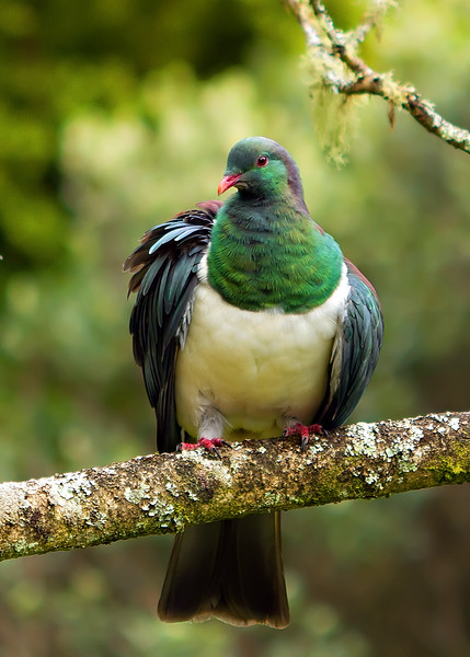 Kererū. Some :words: on my blog