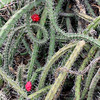 Tangled cactus in bloom. (Desert Botanical Garden, Phoenix, AZ)