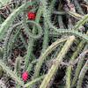 Tangled cactus in bloom. (Desert Botanical Garden, Phoenix, AZ)