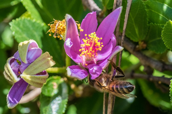 Lavender Starflower and the Business End of a Bee