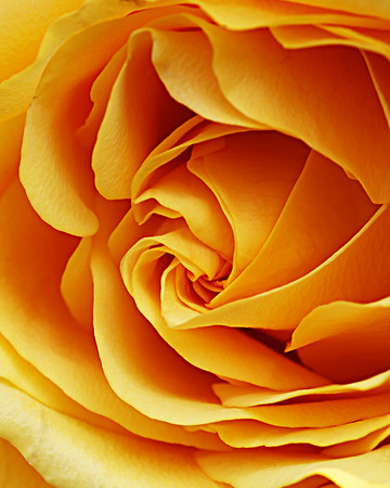 7700 Yellow Rose