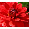 Blazing red Dahlia (8.25.2011)