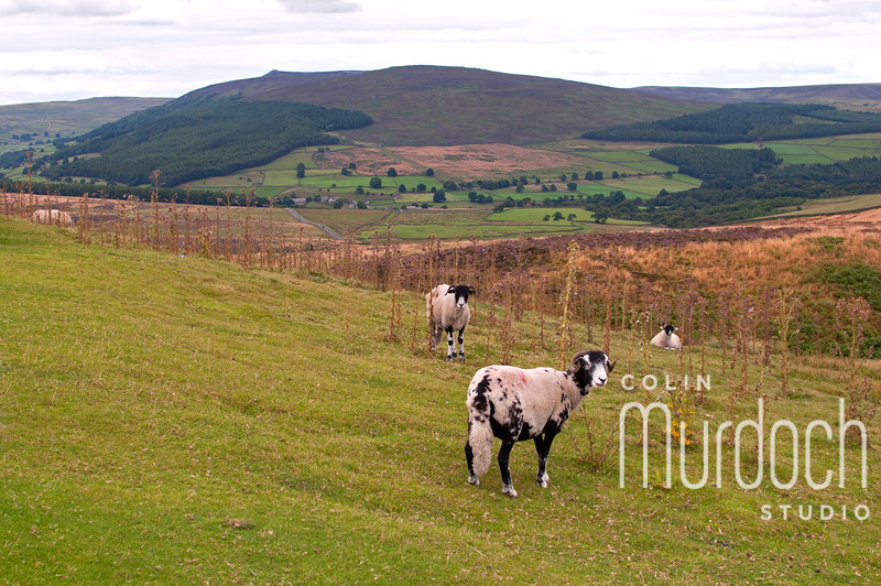 Sheep in the Dales II