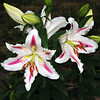Pink & White Lilies
