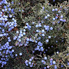 Juniper berries (Grand Canyon, AZ)