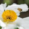 Macro of a pollen-laden bee flying into a Matilija Poppy