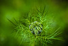Love In A Mist -Nigella damascena