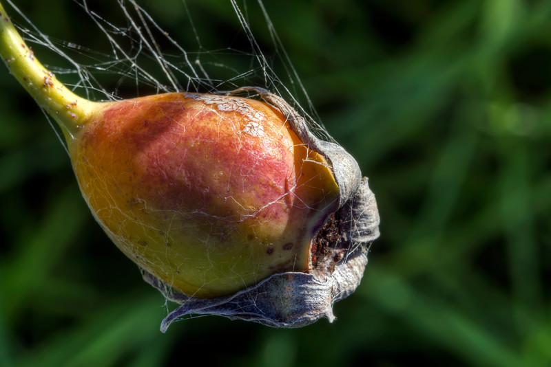 Death, Decay and the Rosebud.  Ok I know its a rose hip but I re-watched Citizen Kane recently.