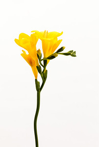 A single stem of yellow Freesia, delicately arching with 1st bloom fading isolated on a white  background