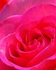 7687 Pink Rose