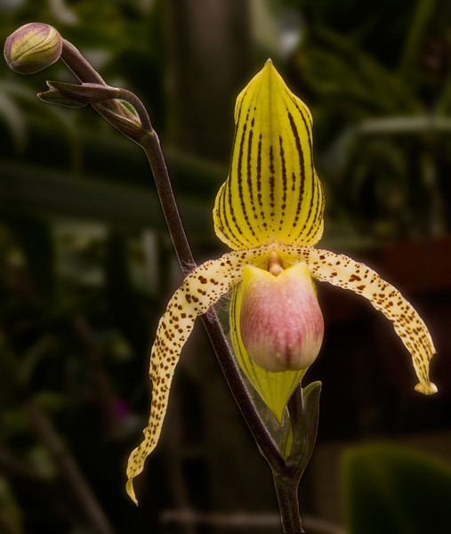 Phrageopedium Orchid