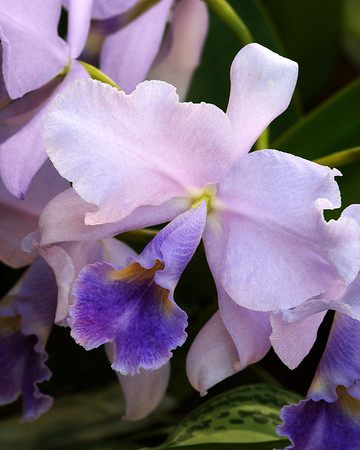 DSC01133 Purple Orchid