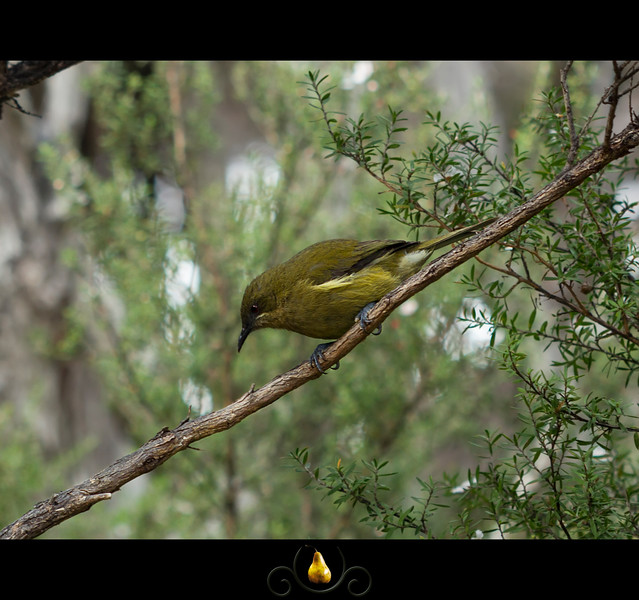 New Zealand Bellbird - Korimako.  Female (I think)